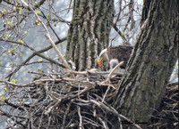 Mom feeding the eaglets