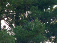 6-28-16 Juvie in a pine tree near the retention pond