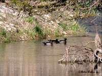 Wood ducks in trout run creek near N1
