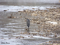 Great Blue Heron in the stream near N1