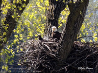 Mom and the eaglets