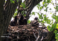 The eaglets!