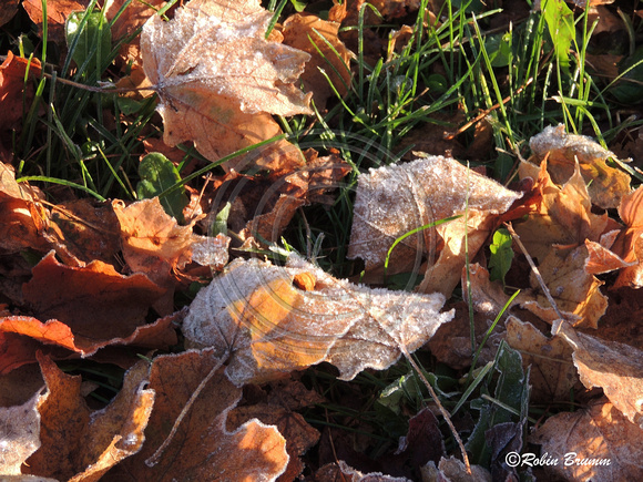 frost on the fallen leaves.