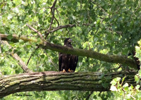 7-6-16 Juvie in the tree in the horse pasture