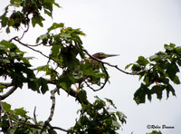 A Visitor.  A green heron passing through resting on the maple tree