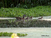 Neighbors in the retention pond female wood duck and ducklings