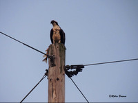 Osprey down the road from my house, on the way to Decorah